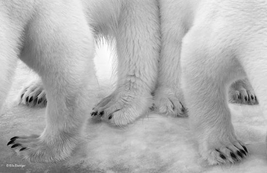 《北极熊的双人舞》(肖像黑白组冠军作品)(卢森堡)艾罗?埃尔万热 摄影