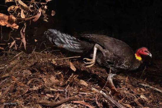 行为:鸟类组 冠军 《使用孵化器的鸟》