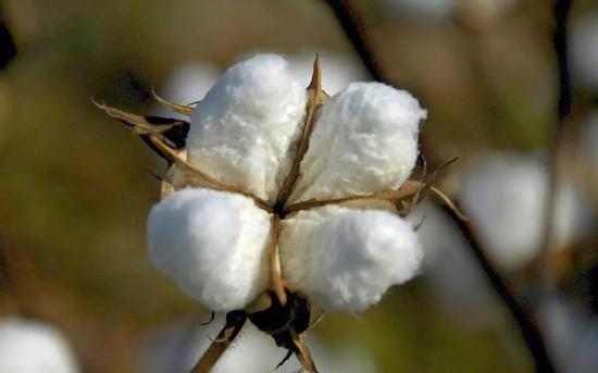 于是有些人家用棉布取代绢布